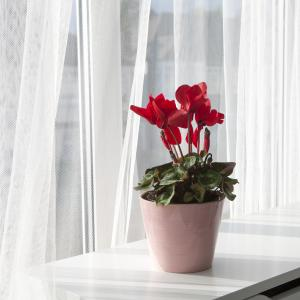 Potted Cyclamen for Valentine's Day