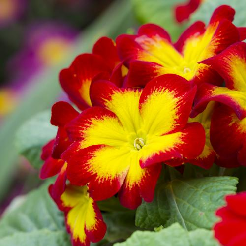 Petunia - Sales tips for bedding plants