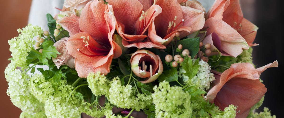 Conseils de soin des amaryllis chrysal for Acheter amaryllis